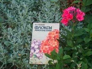 Квіти флокси: посадка, вирощування і догляд в саду