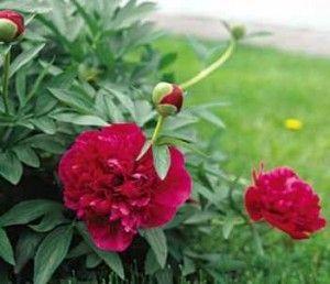 Квіти садові півонії: догляд навесні - восени