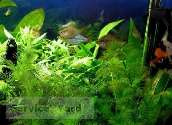 Як прибрати зелень в акваріумі
