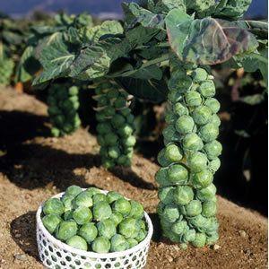 Як вирощувати брюссельську капусту у себе в городі