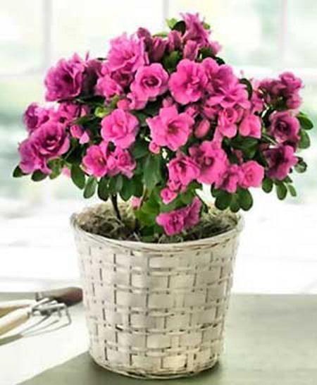 Кімнатні квіти: азалія - правила догляду