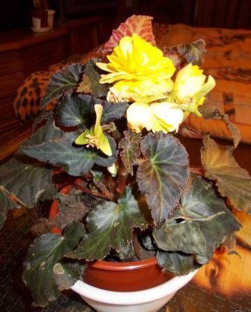 Кімнатні квіти: бегонія - види і правила догляду