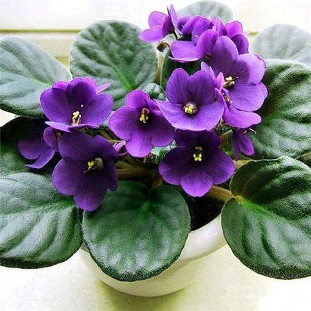 Кімнатні квіти: фіалка - правила догляду