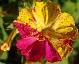 Мірабіліс ялапа: вирощування з насіння, бульб, догляд