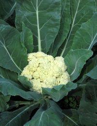 Особливості вирощування цвітної капусти - корисні поради від видання «вм»