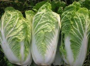 Пекінська капуста: вирощування з насіння розсади і у відкритому грунті, сорти