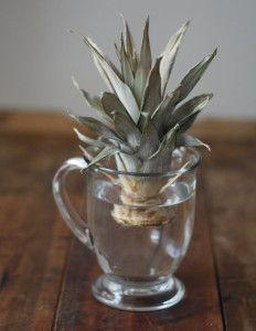 Правила самостійного вирощування ананаса