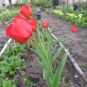 Садові квіти квітучі в травні