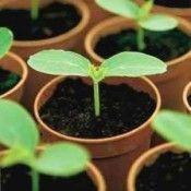 Технологія вирощування баклажанів