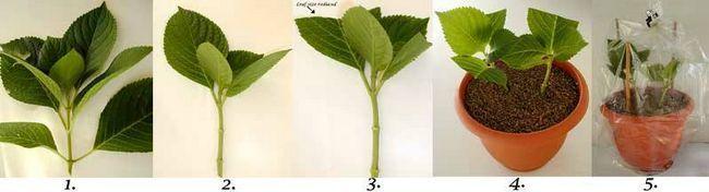 Вирощування гортензії з держака
